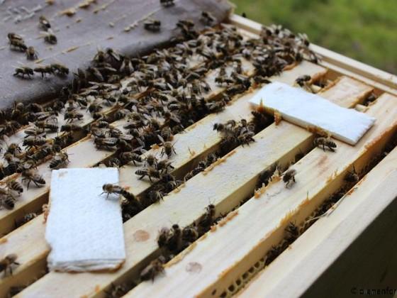 Bienenwiege Varroa Behandlung