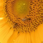 Nektartankstelle Sonnenblume