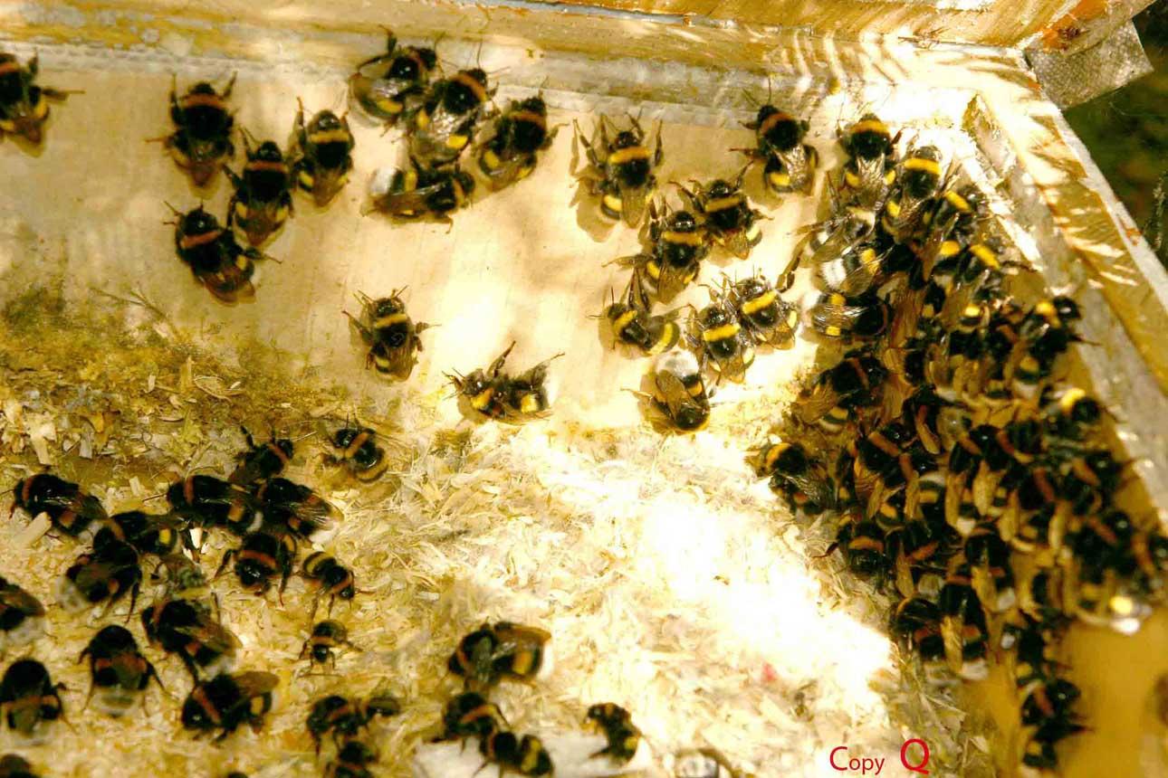 Hummeln sind auch Bienen
