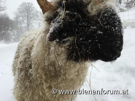 Schaf Schnee