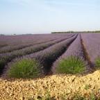 Lavendelfeld über dem Bienenstand