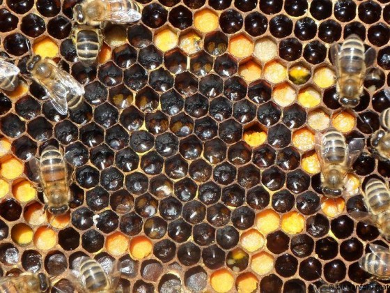 honeybee-eggs-larvae.jpg