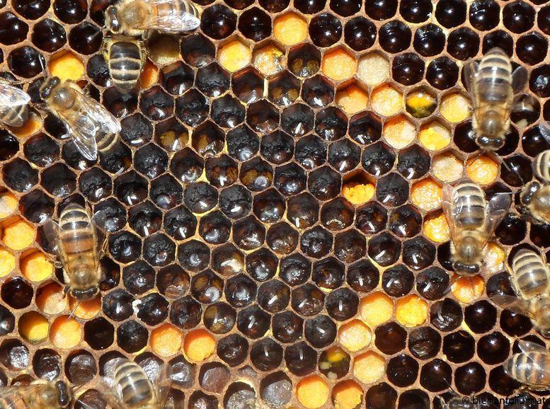 honeybee-eggs-larvae.jpg