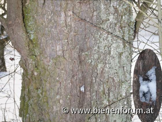 Bienenbaum