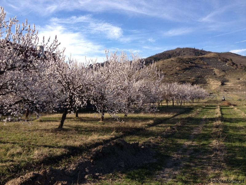Marillenblüte in der Wachau