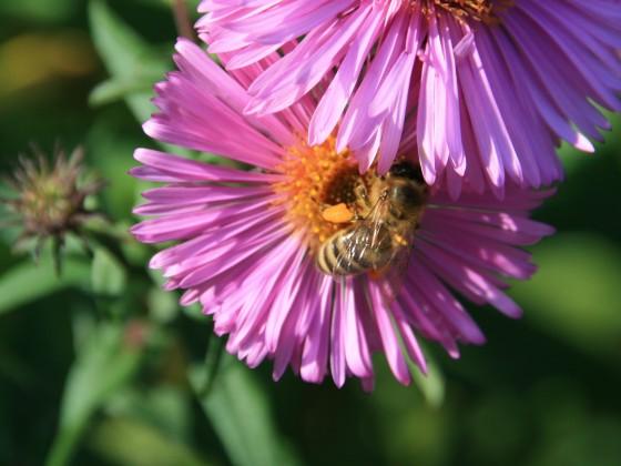 Biene auf Asternblüte