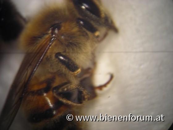 Biene ganz groß