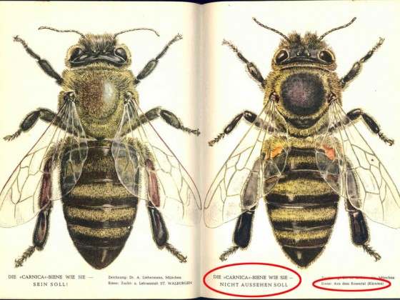 """Imkermeister Peschetz, der Autor des Buches """"Das große Carnicabuch - Der Weg zur besten Honigbiene"""""""
