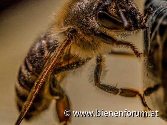 Bienen am knabbern