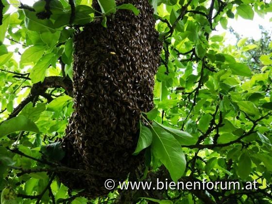 Schwarm am Apfelbaum
