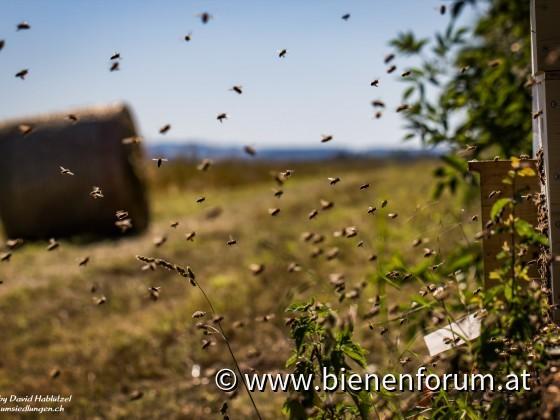 Bienen im Sommer