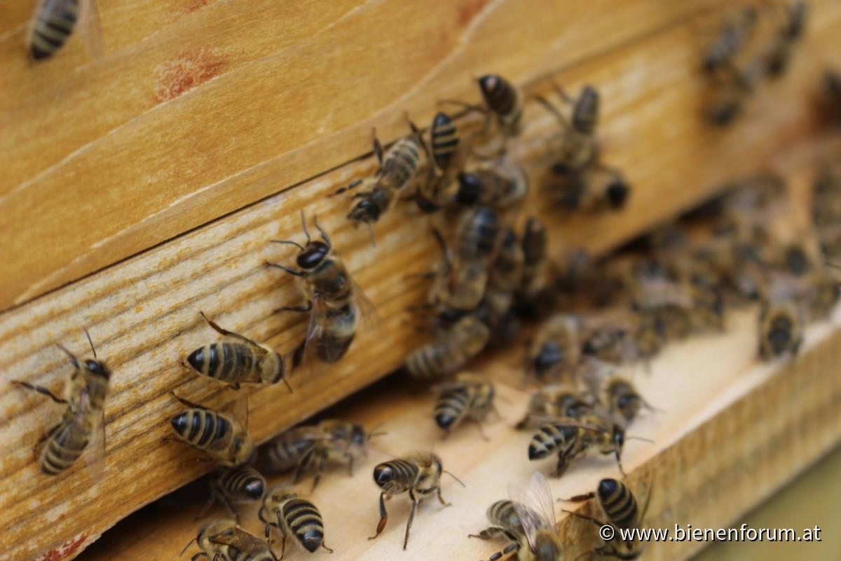 Unbehandelte Bienen