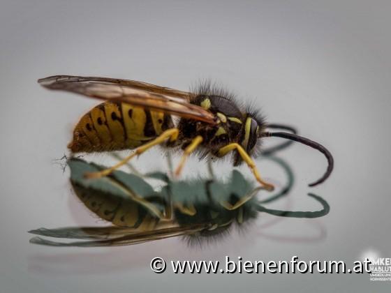 deutsche Wespen Drohne