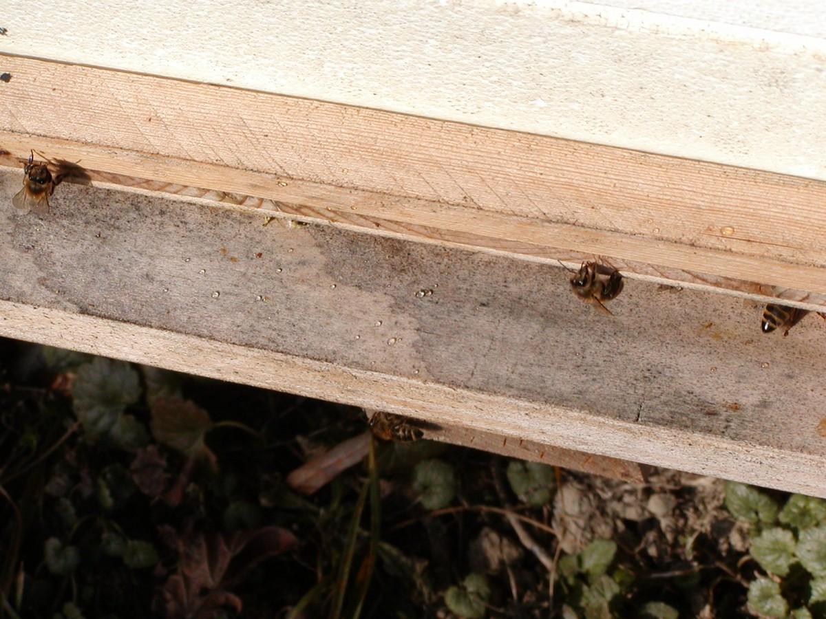Bienen tragen Wasser aus