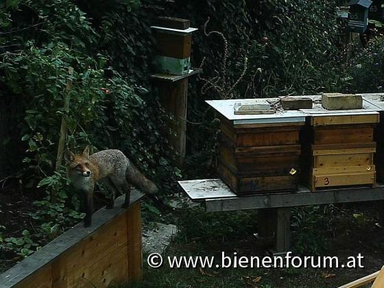 Fuchs am Bienenstand -c