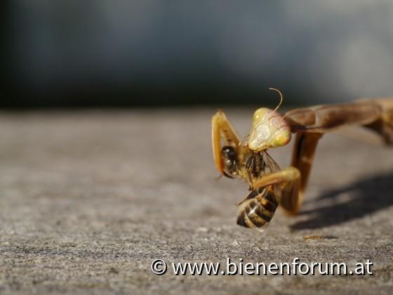 Gottesanbeterin mit Honigbiene