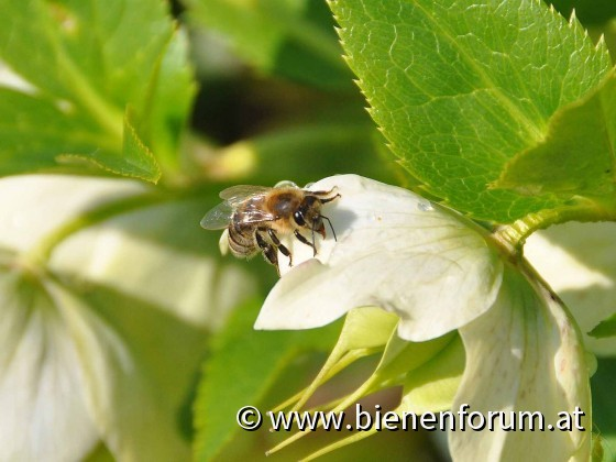 Biene sammelt Wasser auf Schneerose - Tautropfen