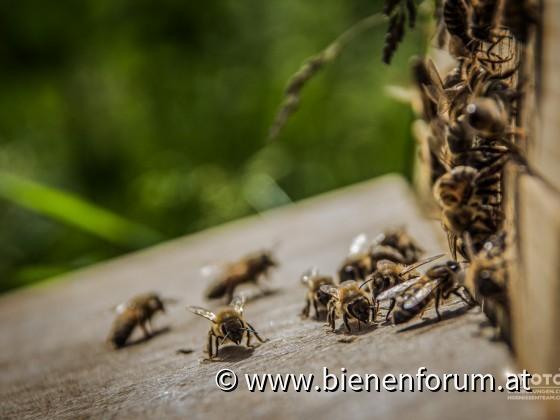 Bienen Eingang