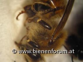 Bienen in Groß