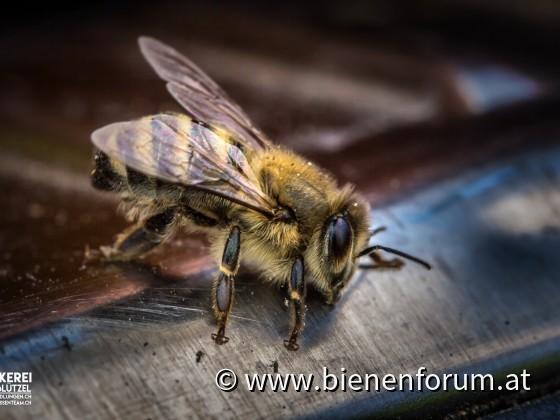 Bienen am ausruhen