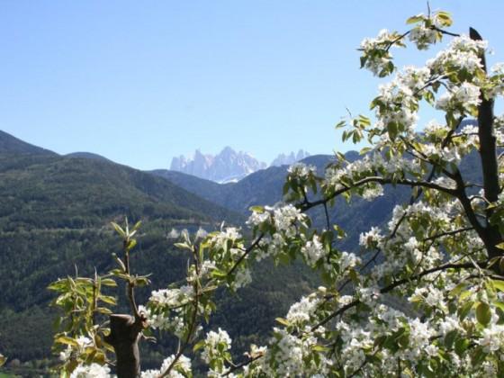 Blick durch Birnenblüten