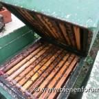 Bienen auf Teneriffa