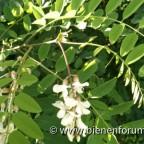 Robinienblüte am 17. Juli 2020