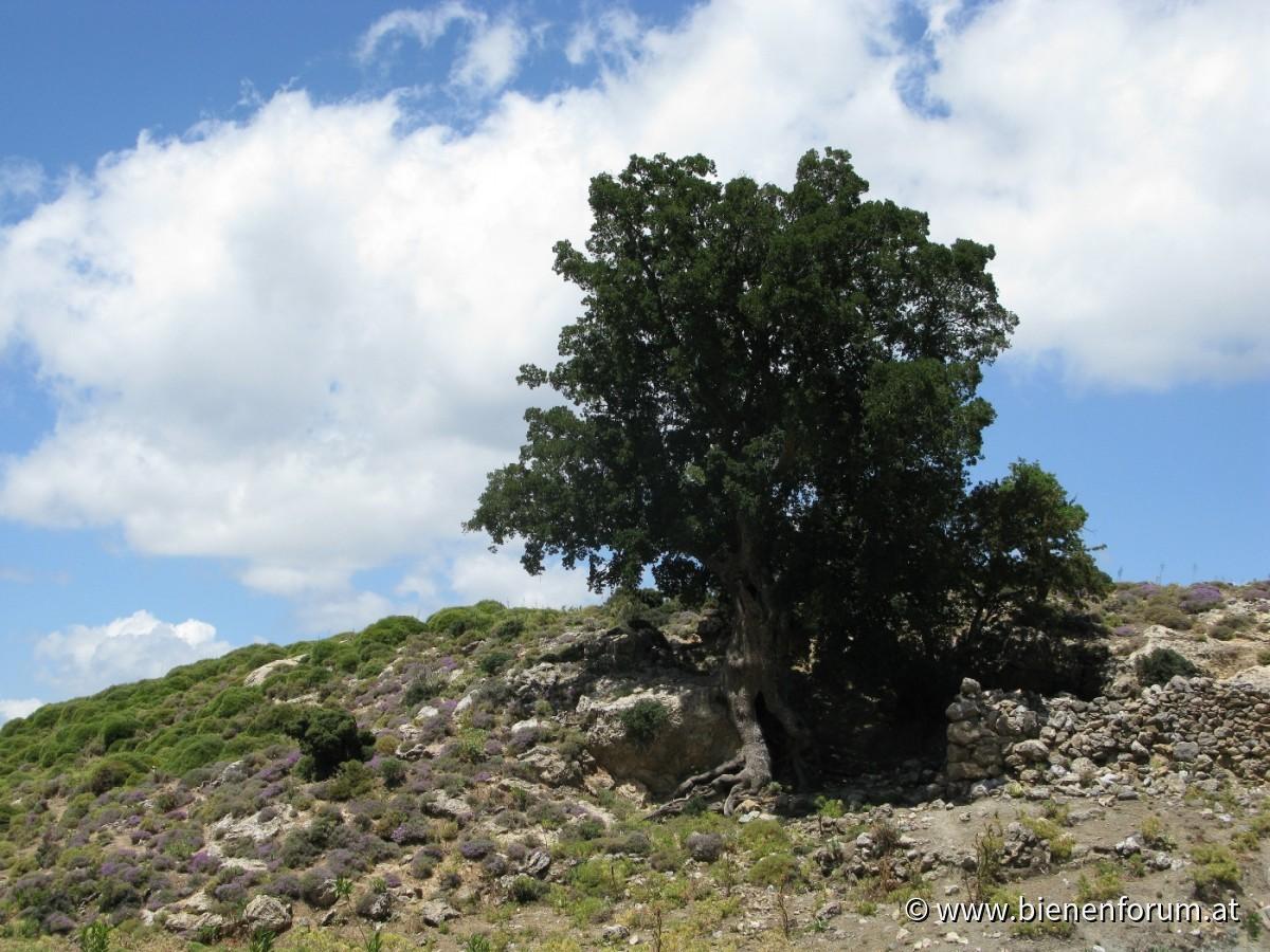 Thymian in Omalos Plateau