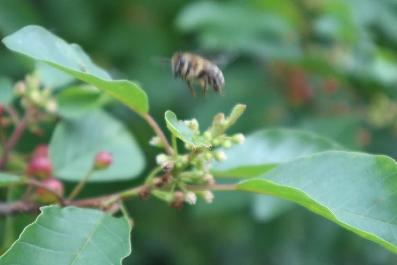 Biene im Landeanflug
