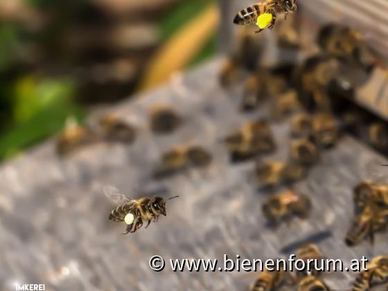 Bienen im Anflug
