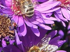 Bienen auf Aster