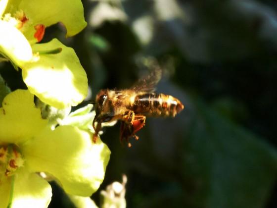 Biene auf Königkerze