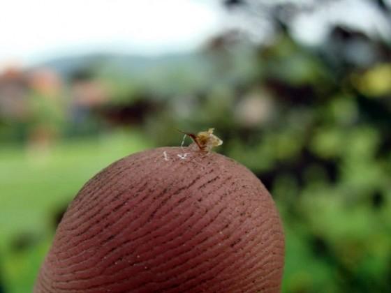 Bienenstachel