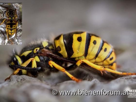 deutsche Wespen Königin in der Winterstarre