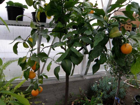 Orangenernte-hat-begonnen